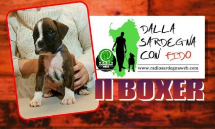 Il Boxer: energia e voglia di giocare